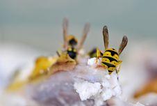 Free Eating Wasps Royalty Free Stock Photos - 26099208