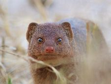 Free Slender Mongoose - Close Inspection Stock Image - 26099221