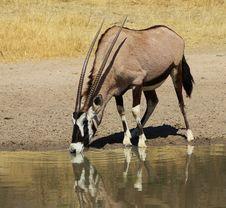 Free Oryx - Gemsbuck Reflections Super Stock Image - 26099351