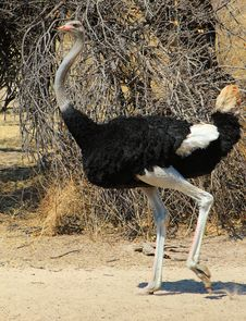 Free Ostrich Male - Fine Feathers Stock Images - 26099684