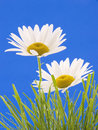 Free Daisies Royalty Free Stock Images - 2610039