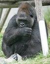 Free Gorilla 10 Royalty Free Stock Image - 2611336