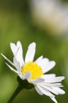 Free Daisy Stock Photo - 2610020