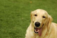 Free Happy Golden Retriever Royalty Free Stock Photos - 2611498