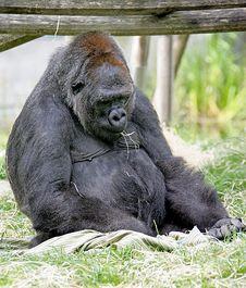 Free Gorilla 11 Royalty Free Stock Images - 2612599