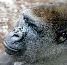 Free Gorilla 13 Royalty Free Stock Photos - 2612758
