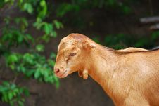 Free Goat Stock Photos - 2613263
