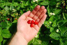 Free Wild Strawberrys Stock Image - 2613271