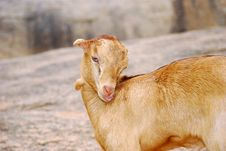 Free Goat Stock Photography - 2613272