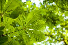 Free Backlit Leaf Royalty Free Stock Photography - 2613497