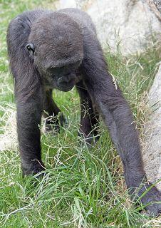 Free Gorilla 17 Royalty Free Stock Photos - 2613888
