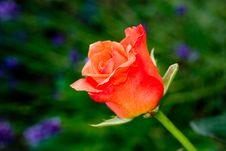 Free Rose Stock Photo - 2614730