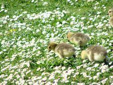 Free Daisy Ducks Royalty Free Stock Images - 2615029