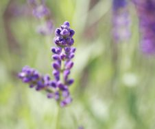 Free Lavender In A Garden Royalty Free Stock Image - 2615496