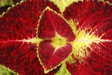 Free Leaf With Red And Yellow Color Royalty Free Stock Photography - 2616127