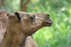 Free Camel Royalty Free Stock Image - 2616556