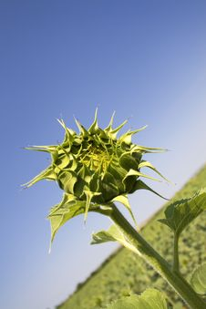Free Sunflower Bud Stock Image - 2618001