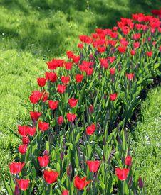 Free Tulips Stock Photography - 2618192