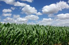 Free Green Maize Royalty Free Stock Photography - 2619137