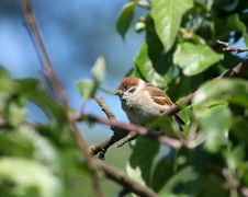 Free Sparrow Stock Images - 2619274