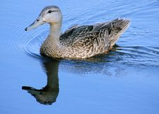 Free Mallard Female Duck Royalty Free Stock Photo - 2619675