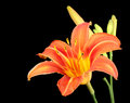 Free Orange Daylily, Hererocallis Fulva Stock Images - 26102184