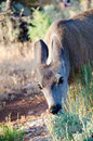 Free Mule Deer Eating Grass In A Meadow Royalty Free Stock Images - 26107739