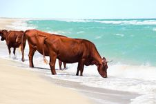 Cows Drinking Water Royalty Free Stock Photo