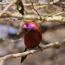 Free Waxbill, Violeteared - Beauty Is Bliss Royalty Free Stock Photo - 26102115