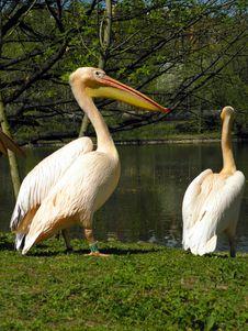 Pelicans Royalty Free Stock Photos
