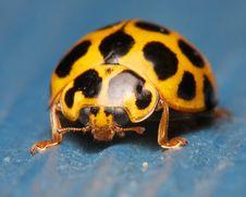Free Ladybug On Blue Royalty Free Stock Image - 26102706