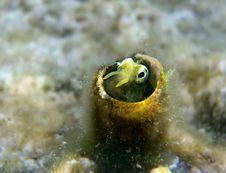 Free Small Fish Of Lance Blenny &x28;Aspidontus Dussumieri&x29; Royalty Free Stock Photo - 26103945