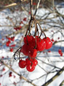 Red Guelder-rose Stock Photos