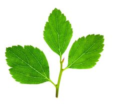 Free Tree Raspberry Leaves Stock Image - 26106551