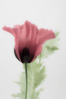Free Poppy Royalty Free Stock Image - 26106816