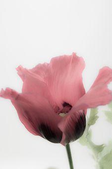 Free Pink Poppy Royalty Free Stock Photo - 26106825