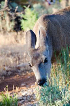Mule Deer Eating Grass In A Meadow Royalty Free Stock Images