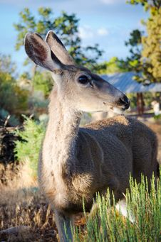 Mule Deer Profile Royalty Free Stock Photo
