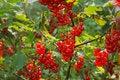 Free Plenty Of Ripe Redcurrant Berries Stock Image - 26119941