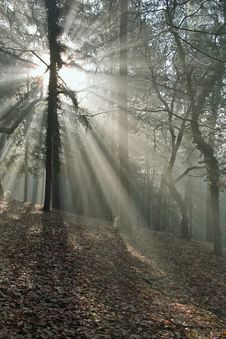 Free Rays Of Light In The Wood Royalty Free Stock Photo - 26111725