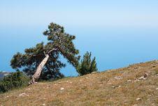 Free Pine On Mountain Stock Photo - 26115300