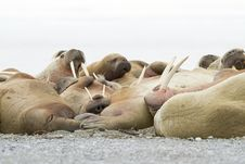 Free Sleeping Walruses Royalty Free Stock Photography - 26116957