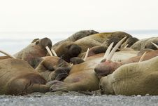 Free Sleeping Walruses Royalty Free Stock Photos - 26117038