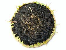 Free Single Ripe Sunflower Royalty Free Stock Photography - 26117177