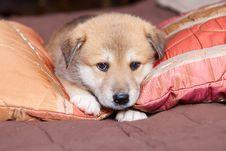 Free Portpait Puppy Stock Image - 26119381