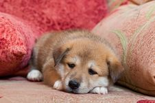 Free Puppy Royalty Free Stock Image - 26119396