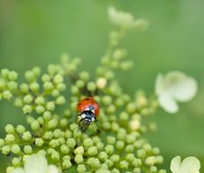 Free Ladybug Stock Image - 26119911