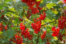 Free Plenty Of Ripe Redcurrant Berries Stock Image - 26119941