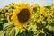 Free Sun Flower Royalty Free Stock Image - 26117326