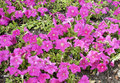 Free Petunia Royalty Free Stock Photography - 26122007